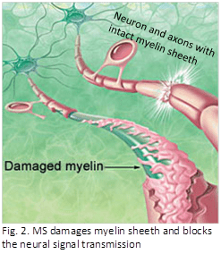 Myelin Sheeths
