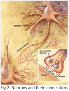 Neurons and connections