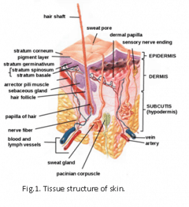 Tissue structure of skin